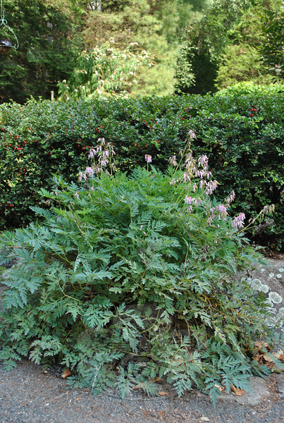 The French bleeding heart is one of Marion Thompson's favorite garden plants, blooming all summer long, and not favored by deer.