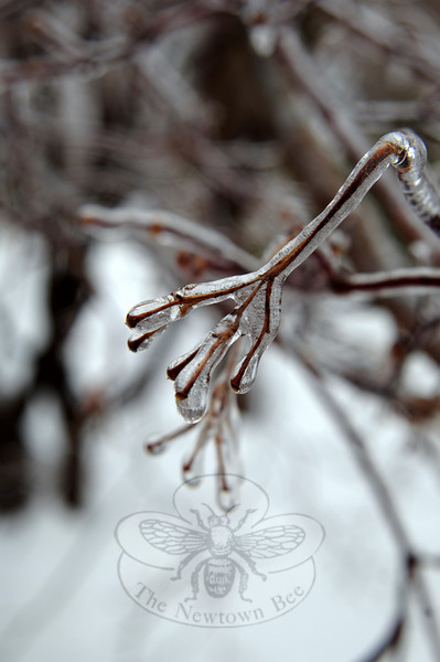 This week's rain added weight to branches that dipped toward the ground, heavy with ice.  (Bobowick photo)