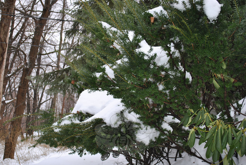 Branches bowed down by heavy snow can break. Gently shake off snow whenever possible, but leave ice coatings to melt naturally.  (Crevier photo)