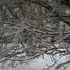 The precipitation that began Tuesday night and ended midmorning Wednesday coated tree limbs and all other surfaces with ice.  (Hicks photo)