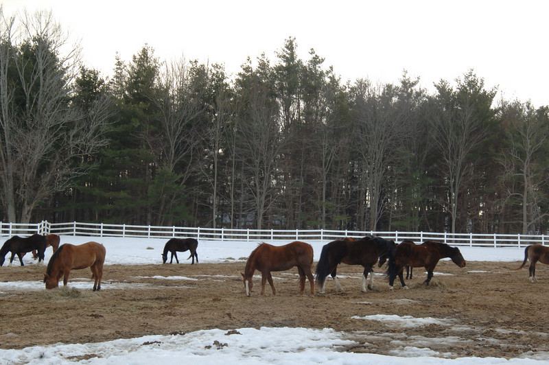 Horses tip their heads toward frozen ground, teasing up wisps of hay thrown down for them to nibble.  (Bobowick photo)