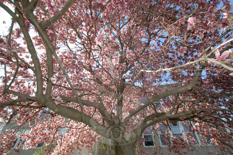 April's fickle mix of sun and showers has coaxed the blossoms of spring from their protective buds, and nowhere is the transformation more spectacular than on the front lawn of Hawley School, where a mature magnolia tree has put Newtown's oldest school back in the pink.  (Bobowick photo)