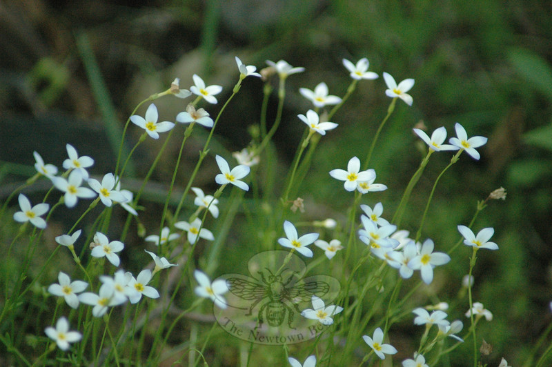 Meadow bluets.  (Clark photo)