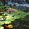 "A lily blooms on top of pads that shade two dozen goldfish in a pond. A program by a water garden specialist, hosted by The Town & Country Garden Club a few years ago, inspired Diana Johnson to revive a dull hill behind her house into a stretch of peace and color.  (Crevier photo)<br /> <br /> PLEASE NOTE additional photos from Diana & Wayland Johnson's garden were included in a slideshow. All of those photos can be found here: <a href=""http://photos.newtownbee.com/Nature/Glimpse-of-the-Garden-Diana/18383745_qPhm93#1416948723_92KgJsj"">http://photos.newtownbee.com/Nature/Glimpse-of-the-Garden-Diana/18383745_qPhm93#1416948723_92KgJsj</a>"