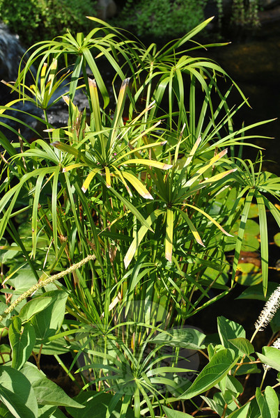 "Umbrella palm cyperus, found in the garden of Diana & Wayland Johnson, which is featured in the latest edition of Nancy Crevir's ""Glimpse of the Garden"" series.  (Crevier photo)<br /> <br /> PLEASE NOTE additional photos from Diana & Wayland Johnson's garden were included in a slideshow. All of those photos can be found here:  <a href=""http://photos.newtownbee.com/Nature/Glimpse-of-the-Garden-Diana/18383745_qPhm93#1416948723_92KgJsj"">http://photos.newtownbee.com/Nature/Glimpse-of-the-Garden-Diana/18383745_qPhm93#1416948723_92KgJsj</a>"