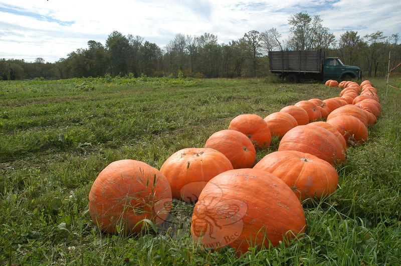 A double row of pumpkins stretches out toward a farm truck at Castle Hill Farm. (Gorosko photo)