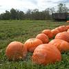 A double row of pumpkins stretches out toward a farm truck at Castle Hill Farm. (Gorosko photo)