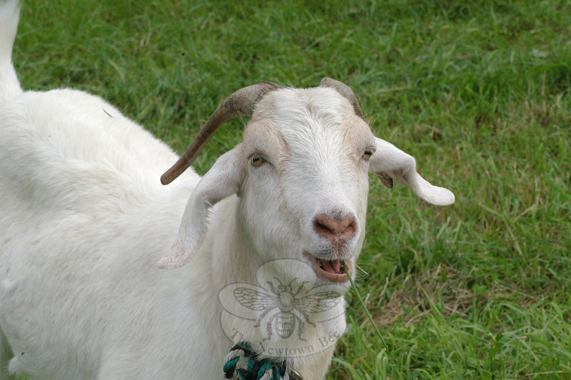 A friendly goat was among the barnyard animals positioned at a petting zoo area at the Ukrainian Festival. (Gorosko photo)