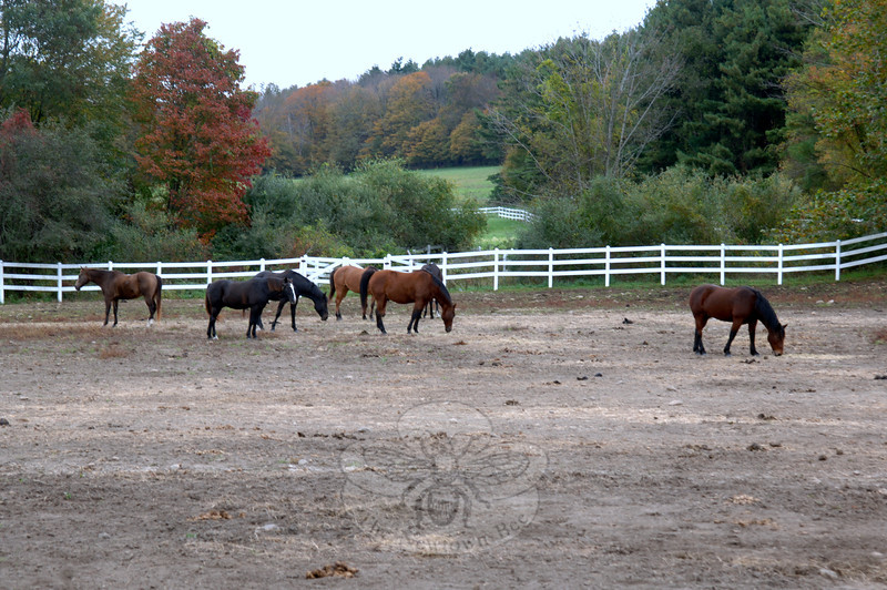 Horses graze in a field below the stables and main barn at the Second Company Governor's Horse Guard.  (Bobowick photo)