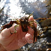 The volunteers even caught and released a large crayfish, which sustains raccoons and other animals that also fish the local streams for food.  (Voket photo)