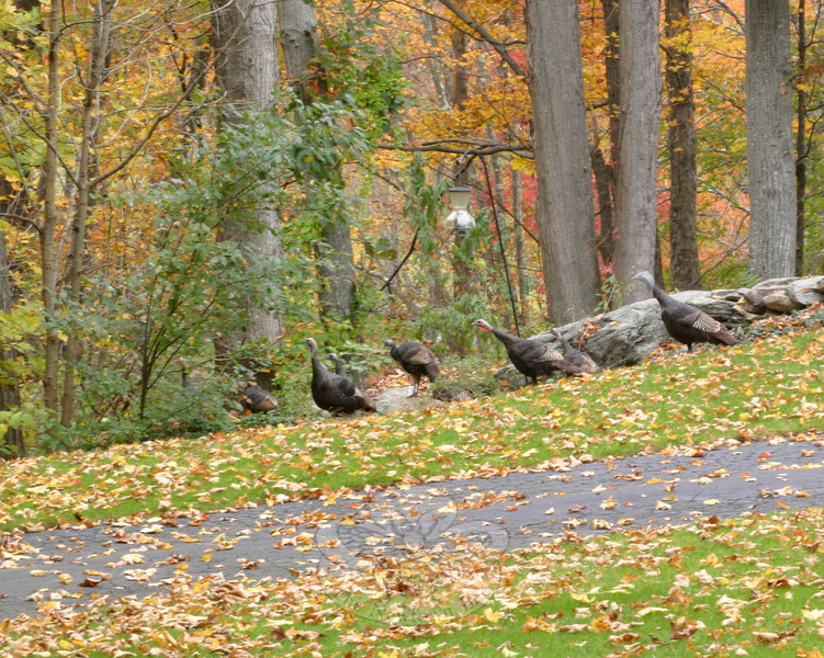 Halloween has passed for another year, which means Thanksgiving is up next. This rafter of turkeys, spotted recently heading into the woods off Cold Spring Road, seems to have checked the calendar and knows it is time to go into hiding until the holidays have safely passed.  (Hicks photo)