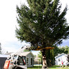 A Sandy Hook tree has been selected to be this year's Christmas tree for Stew Leonard's Dairy Store in Danbury. Dan and Sharon Doherty and their sons, Patrick and Joseph, will be the honored guests at this year's tree lighting on December 2. On Wednesday, November 17, a team from Stew Leonard's and Jeff Davenport of New England Tree Movers prepared a 45-foot Norway spruce for its upcoming spotlight appearance. Mr Davenport used a tree baler, above, to move the lowest branches of the tree into place so that he could temporarily tie them into place for transport.  (Hicks photo)