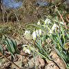 Snowdrops bow their heads on Wendover Road. (Bobowick photo)
