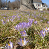 Crocuses open under a late February sun this week on a lawn on Main Street just before the Intersection at Hanover Road.  (Bobowick photo)