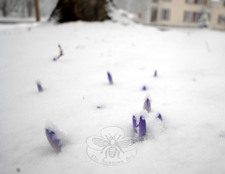 Crocuses on a Main Street lawn near Hanover Road are folded up against Wednesday's snow, waiting for a warmer day.  (Bobowick photo)