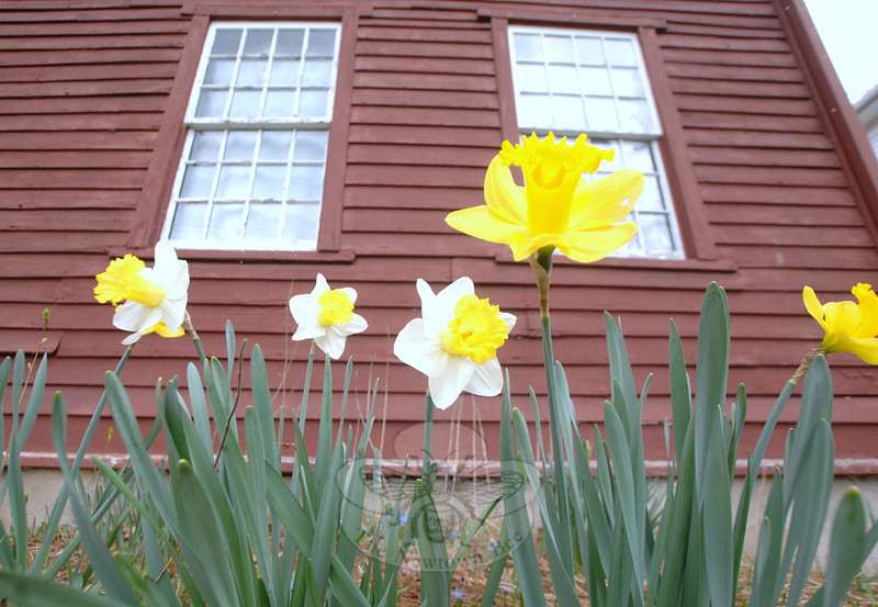 Daffodils in the beds bordering the Matthew Curtiss House at 44 Main Street opened early this year, in time to greet the first day of spring Tuesday, March 20. Like many spring blooms, the buds and flowers are earlier than usual this year. Also already flowering at the Newtown Historical Society's 1700s Saltbox is a magnolia tree in the backyard. A mature quince's swollen buds in a front garden are also ready to bloom.					          —Bee Photo, Bobowick
