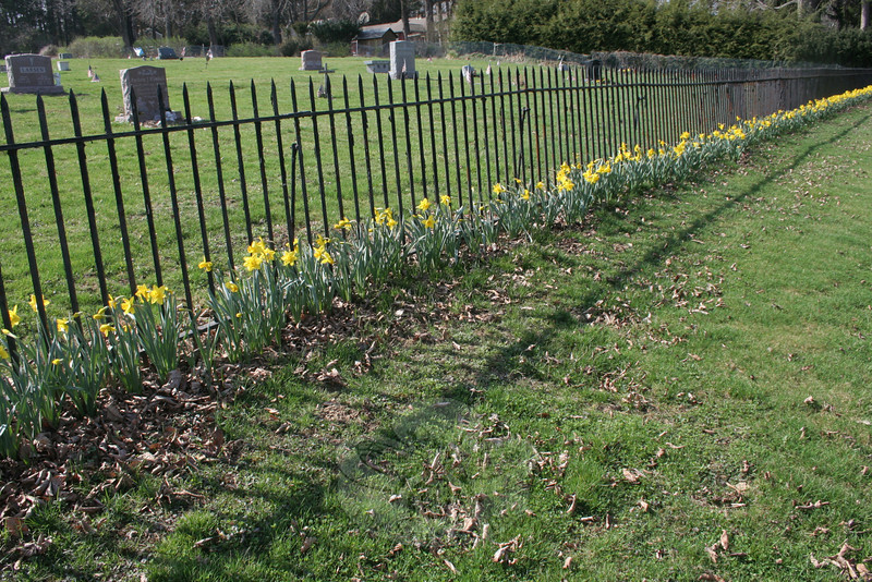 Thousands of daffodils are celebrating the return of warm weather this week, blooming along the fence line at Newtown Village Cemetery. Ronald Guamin, Frank LaPak, and Scudder Smith last year planted the approximately 1,200 to 1,400 bulbs that have led to this month's bright display along Elm Drive.      (Hicks photo)