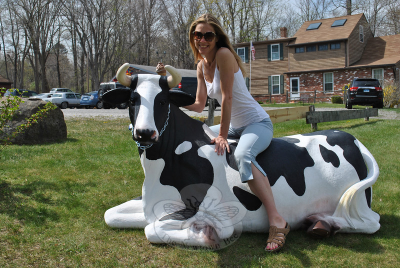 Yoga Dimensions instructor Natasha Raymond takes a post-class ice cream cone break atop Sprinkles the (artificial) cow at Holy Cow Ice Cream Shop on Church Hill Road.   (Crevier photo)