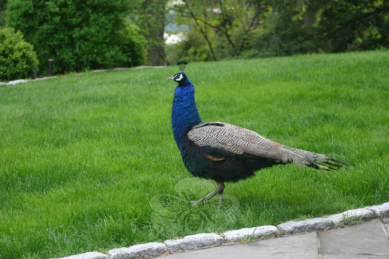 Fred the peacock, during his stop in Newtown.  (Hicks photo)