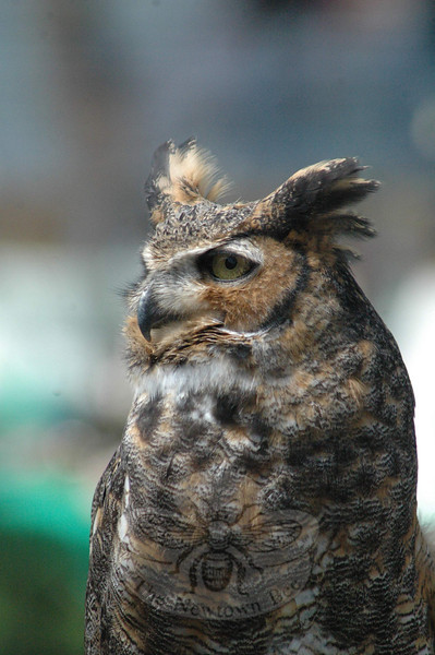 Christine DeVito, an environmental educator at the Sharon Audubon Center, displayed three birds of prey for those at the Earth Day event. Shown here is a great horned owl. Also displayed were an American kestrel and a red-tailed hawk and a great horned owl.  (Gorosko photo)