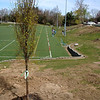 One of 26 new trees is planted and in its new home on the hillside overlooking Treadwell Park.  (Gorosko photo)