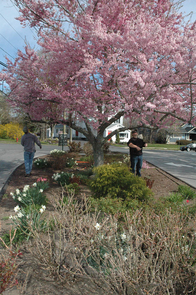 As vehicles traveled around the traffic island at Queen Street and Church Hill Road on Saturday, April 27, David Delia, left, the owner of Royal Oak, LLC, of Redding, trims away some excess growth from a flowering cherry tree. Mr Delia, a licensed arborist, and his son George, right, pruned the tree. The plantings at the traffic island are maintained by The Town and Country Garden Club of Newtown.  (Gorosko photo)