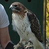 Christine DeVito, an environmental educator at the Sharon Audubon Center, displayed three birds of prey for those at the Earth Day event. Shown is a red-tailed hawk. Also displayed were an American kestrel and a great horned owl.  (Gorosko photo)