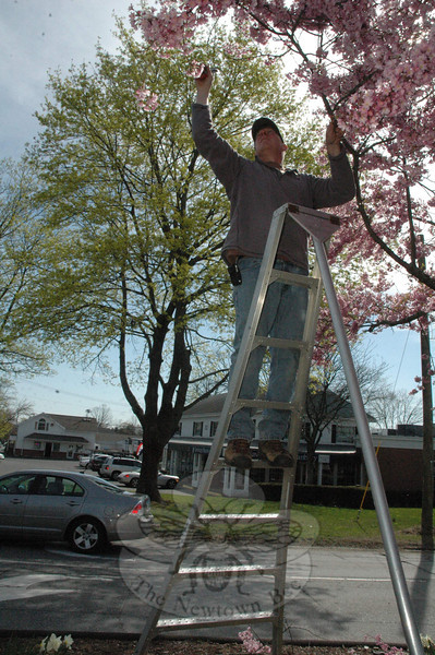 David Delia, pruning a flowering cherry tree on Queen Street, April 27.  (Gorosko photo)