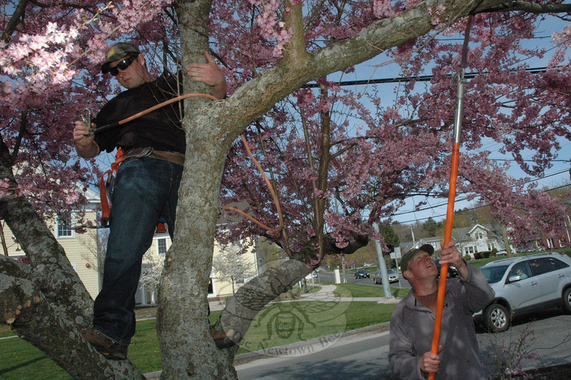 George and David Delia, pruning a flowering cherry tree on Queen Street, April 27.  (Gorosko photo)