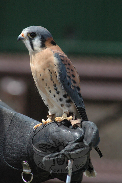 Christine DeVito, an environmental educator at the Sharon Audubon Center, displayed three birds of prey for those at the Earth Day event. Shown here is an American kestrel. Also displayed were a red-tailed hawk and a great horned owl.  (Gorosko photo)