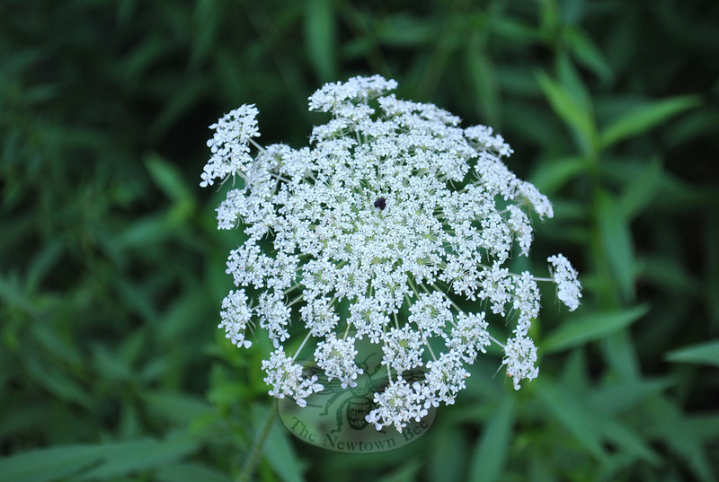 Without the benefit of gardeners — master, or otherwise — the summer scene has arranged and ordered itself into beautiful displays of wildflowers: red and white clovers, roadside chicory and, outdoing everything else, Queen Anne's lace.  (Clark photo)