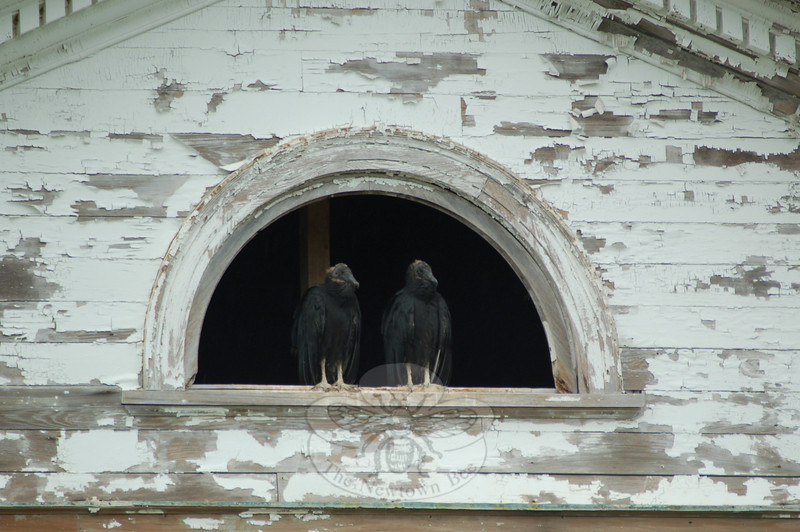 With its peeling paint, broken windows, and overall gloomy look, Stamford Hall at Fairfield Hills needed just one last touch to become downright spooky: Vultures! Now it has them. This summer, a colony of turkey vultures has settled into the open upper reaches of the deteriorating brick building, which is awaiting demolition. The open half-round window at the peak of the Greek Revival façade has become a favored roosting place for the birds, as has the brick chimney. The building seems so commodious, and the scavenging so good on nearby roadways and fields, that it is likely that the vultures will stay for a while — at least through Halloween.  (Clark photo)