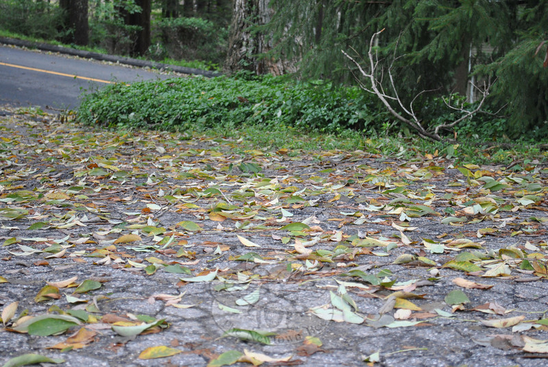 This leaf-strewn driveway is more reminiscent of late September than late August. A dry summer has stressed trees in thin soil areas, causing an early leaf fall for some trees, but State of Connecticut Department of Forestry Director Christopher Martin says that even so, foliage season should be affected only minimally.  (Crevier photo)