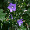 Campanula is just one of the flowers found within Jean Sander's formal English garden.  (Hicks photo)