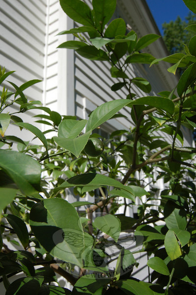 A tiny Meyer lemon, one of nearly 50 that will eventually bend the branches, begins its growth spurt. The Meyer lemon tree is a favorite plant among the thousands that grow on the DeCosta property.  (Crevier photo)