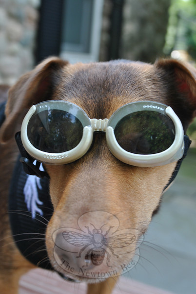 """""""Doggles,"""" canine goggles, protect Linus's eyes when he is riding with owner Teresa Preziosi on her Kawasaki 450.Bee Photo, Nancy K. Crevier"""