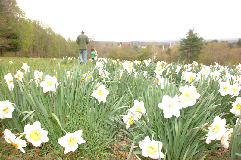 Nettleton Preserve is one of Newtown Forest Association's most visible properties, bordering Castle Hill Road and glimpsing a popular view of Newtown's flagpole and steeples below. Early spring blooms beckon residents to stroll the property's paths and apple orchard.  (Bobowick photo)