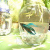 The third annual Newtown Earth Day Celebration took place on Saturday, April 24, at Newtown Middle School. Linda Wheeler sold Beta fish swimming in a bowl where plants' roots dangled, creating a perfect ecosystem for the two. (Bobowick photo)