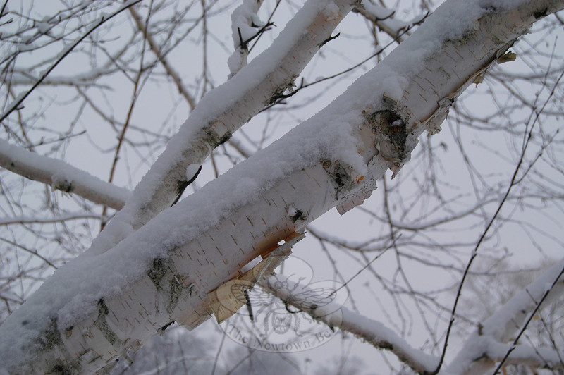 In midwinter, white birches unfurl curlicues of papery bark, feathering their edges into the white surroundings. In a storm, they are like ghosts waving hankies, bidding adieu to the world's solidity. They would be invisible but for the scars of knots and fissures that stand out on their bark like the black caps of chickadees, who normally grace their thin branches but have taken refuge from the storm in hedges and hemlocks.  (Clark photo)