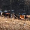 Sun warmed a small cluster of cows grazing on hay in fields along Still Hill Road on Sunday. The ground where the cows stand is part of a series of farming fields purchased by a developer.  (Bobowick photo)
