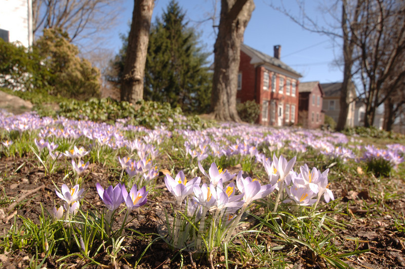 After a weekend of punishing rain and wind, the sun returned early in the week to dry out Newtown and to pull this crowd of crocuses up into public view in front of the Main Street home of Gordon and Lina Wililams.  (Bobowick photo)