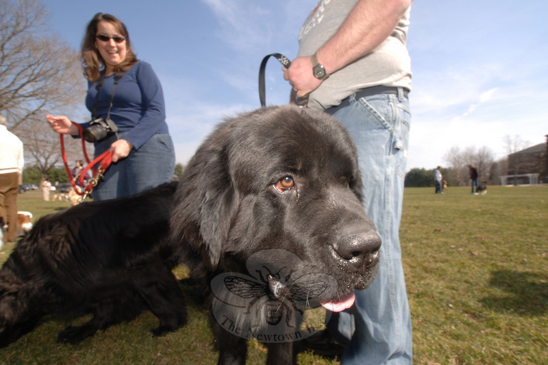 Cash turns his oversized black head toward the camera. John and Nancy Schreiner of New-town brought both their Newfoundlands; Rosie is on her leash in the background.  (Bobowick photo)