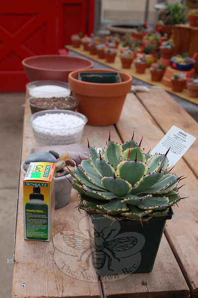 A few simple items and a couple of tricks of the trade will make repotting an agave cactus, or any other prickly houseplant, a painless process.  (Crevier photo)
