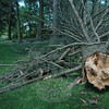 During a windstorm last weekend, the upper section of a large evergreen tree blew down and landed adjacent to an about 15-foot-tall section of the tree's lower trunk, which remained standing in the ground near the Elm Drive entrance to Dickinson Park.  (Grosko photo)