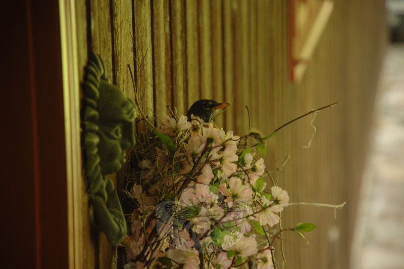 The female American robin, also the Connecticut state bird, is crafty with her building materials. This one, who is preparing for a family, has built a nest in an ornamental wreath at the home of Pat Hammalian.  (Bobowick photo)