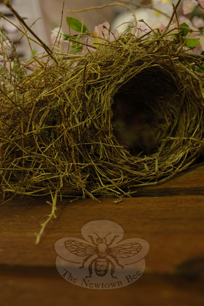 An elevated camera angle offers a look inside the robin's nest at the Hammalian home. Has the mother lined the straw and twig bed for her babies, or have they already hatched?  (Bobowick photo)