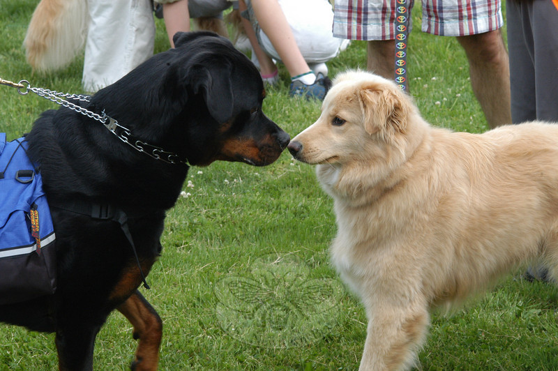 Huxley, a Rottweiler, and Sonic, a mixed breed, try to decide what they think of each other during a close encounter at the Strut Your Mutt event at Fairfield Hills on May 22. Hosted by Newtown Parks & Recreation Department, the event drew than 200 people and over 100 dogs who showed their support and helped to raise more than $2,000 for the town's proposed dog park.