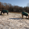 Two horses sample tufts of hay at their feet.  (Bobowick photo)