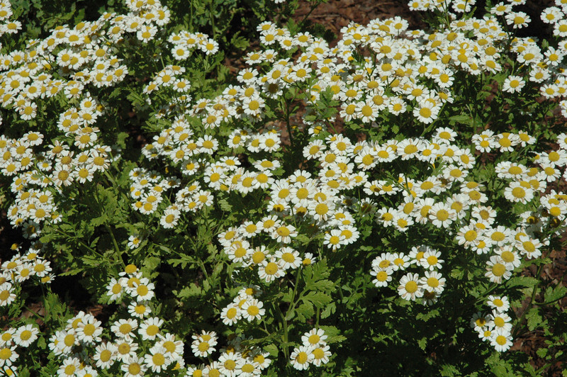 Chamomile, a flowering plant that was grown by early Newtowners as a medicinal herb, is among the many plants on display in the dooryard garden at the circa 1750 Matthew Curtiss, Jr, House property at 44 Main Street. The Garden Club of Newtown created the garden with many Colonial-era plants for the Newtown Historical Society.   (Gorosko photo)