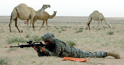 April 30, 2006:<br /> Camels graze in the midst of a simulated evacuation training exercise in Kuwait.